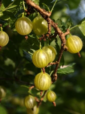 berries of gooseberries Stock Photo
