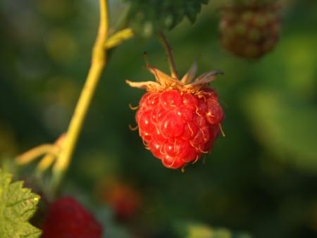 ripe raspberry close-up