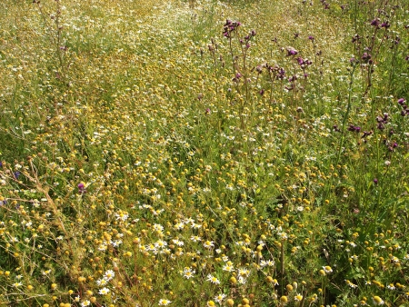thickets daisies in field