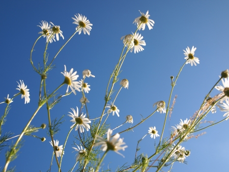 camomile on the background of sky