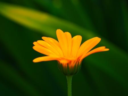 garden flower close-up