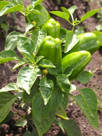 pepper on a garden bed