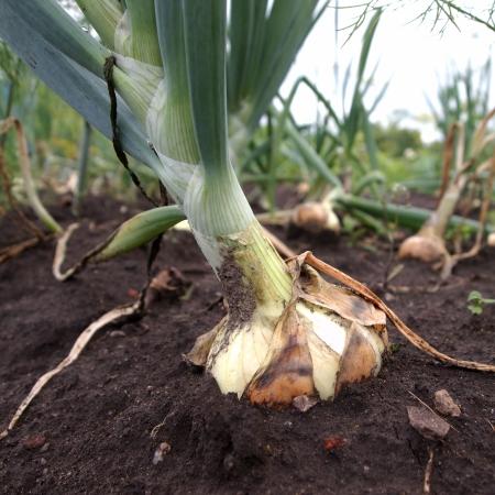 bulb onion on a garden bed