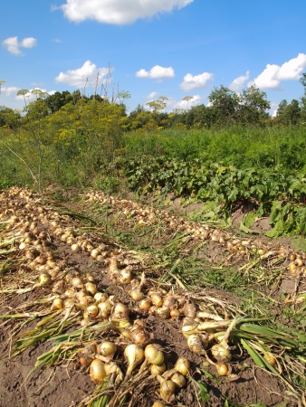 crop onions on a bed in a kitchen garden