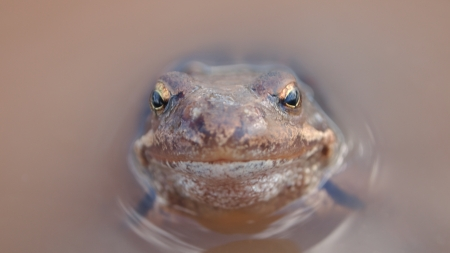 frog in a puddle, portrait Stock Photo