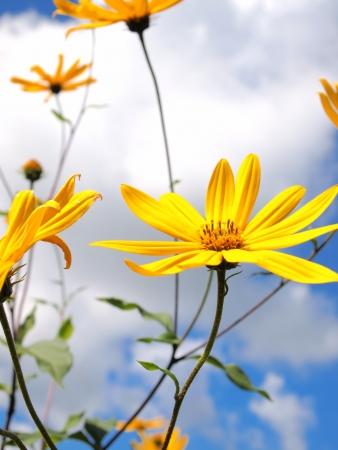 Jerusalem artichoke flowers against the sky