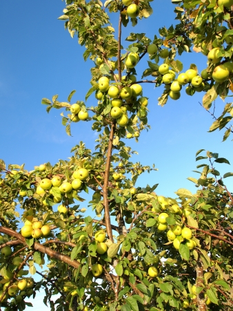green apples on branches