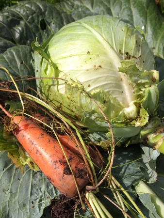 carrots and cabbage, fresh harvest