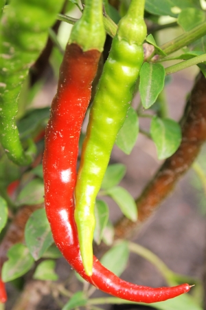 growing chili pepper