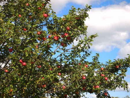 red apples on branches Stock Photo