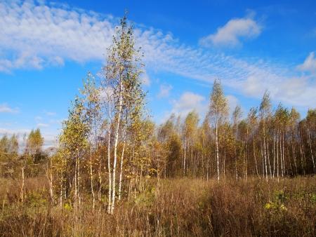 young birch trees, beautiful sky