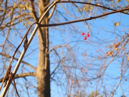 three berries of viburnum