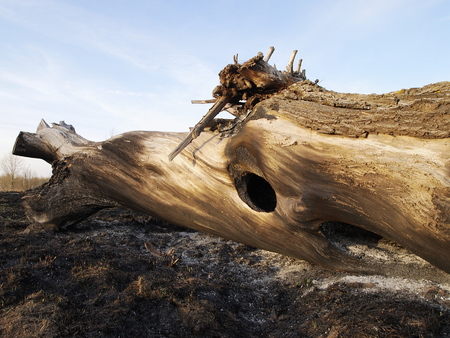 scorched by fire tree, the image shows the effects of fire in nature