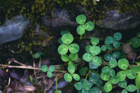 clovers: clovers Stock Photo