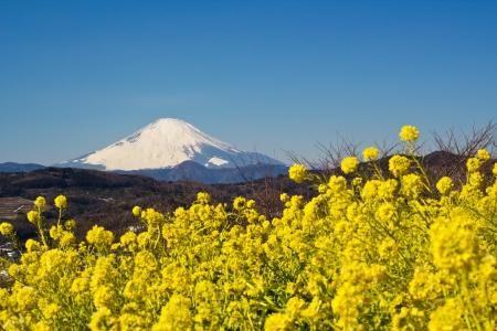 Mt Fuji and rapeseed photo