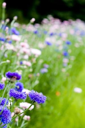 garden cornflowers: flower garden of cornflowers Stock Photo