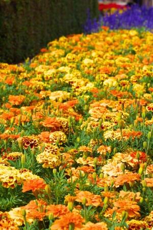 Květy měsíčku lékařského Reklamní fotografie - 14410311
