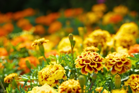 Marigold flowers photo