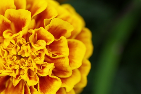 tagetes: The high-angle view of marigold flower