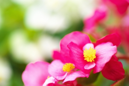 begonia: Begonia semperflorens Foto de archivo