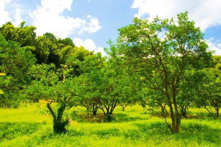 midsummer: The tangerine trees of midsummer and blue sky Stock Photo
