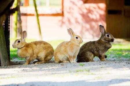 buena postura: Tres poco afable conejo