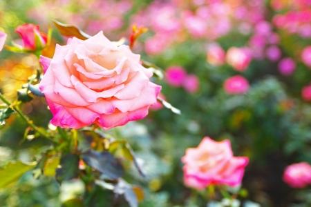 curare teneramente: La rosa di Cherish