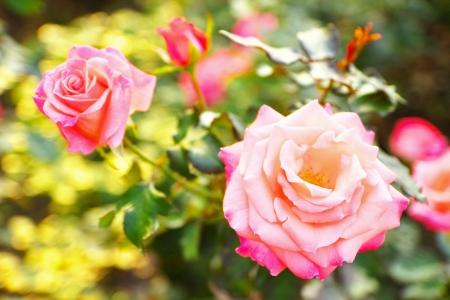 cherish: The rose  Cherish  Stock Photo