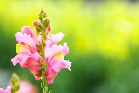plantaginaceae: The pink snapdragon flower on yellow background