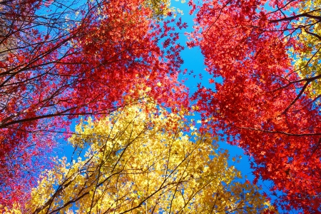 The Red and yellow maples photo