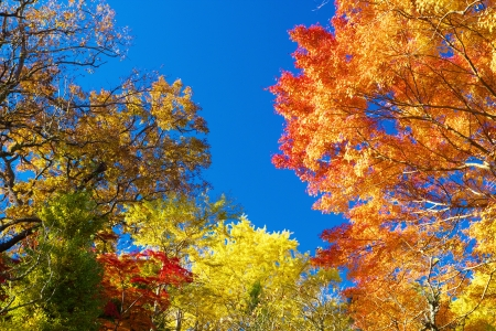 aceraceae: The colorful Autumn leaves Stock Photo