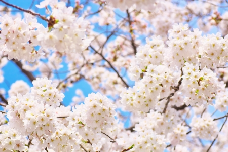 Yoshino cherry tree in full bloom photo
