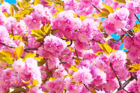 Double cherry blossoms in full bloom Stock Photo - 19374439