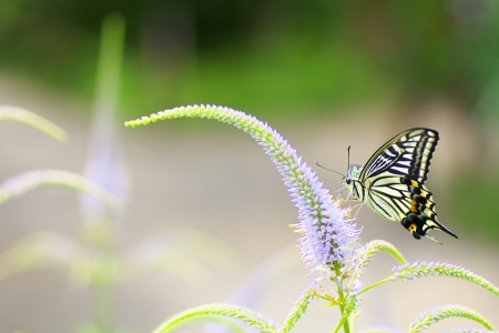plantaginaceae: A swallowtail butterfly perched on veronicastrum japonicum