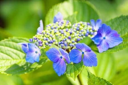 Close up view of blue Hydrangea macrophylla Stock Photo - 20614835