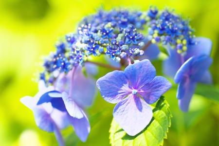 hydrangea macrophylla: Close up view of blue Hydrangea macrophylla