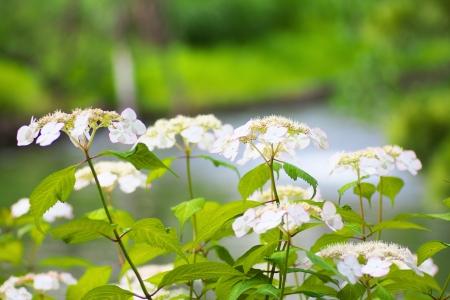 hydrangea macrophylla: White Hydrangea macrophylla flowers