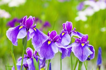 iris flower: Close up of purple Japanese iris flowers