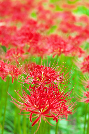 cluster: Cluster amaryllis flowers Stock Photo