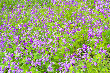 cress: The flower garden of Chinese violet cress