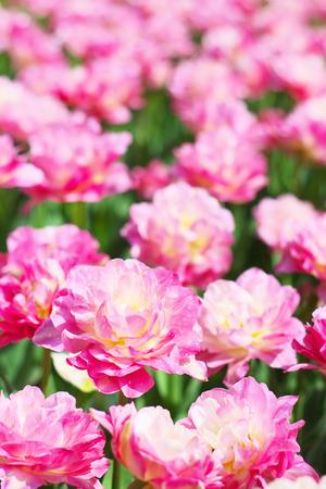 jardines con flores: Tulip 'Doble Sugar'