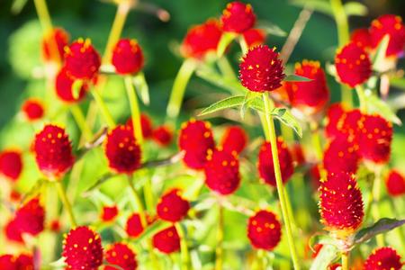 globosa: Gomphrena haageana, Strawberry Fields