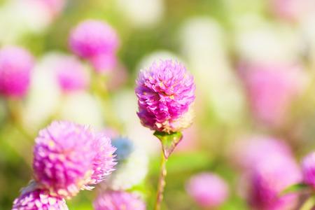 globosa: Field of globe amaranth