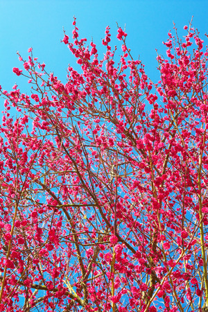 plum tree: Red plum tree against clear blue sky