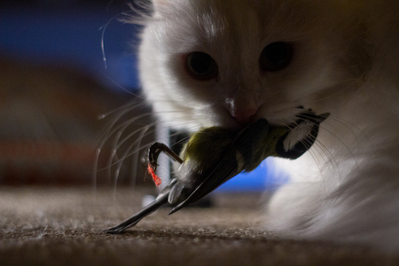 White domestic cat caught a bird closeup