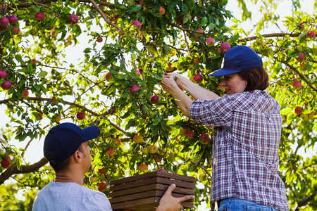 Farmers harvesting ripe apples in orchard in summer 스톡 콘텐츠