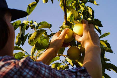 Seasonal worker picking yellow apples in orchard Zdjęcie Seryjne