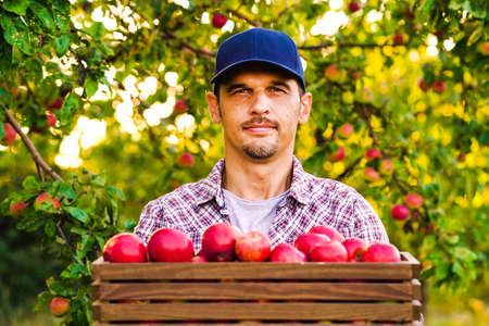 Handsome farmer showing box full of red apples in orchard 스톡 콘텐츠