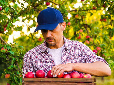 Young farmer arranging red apples in wooden box in orchard 스톡 콘텐츠