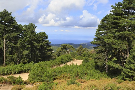 sithonia: Beautiful pine trees in the mountains. Sithonia peninsula in northern Greece.